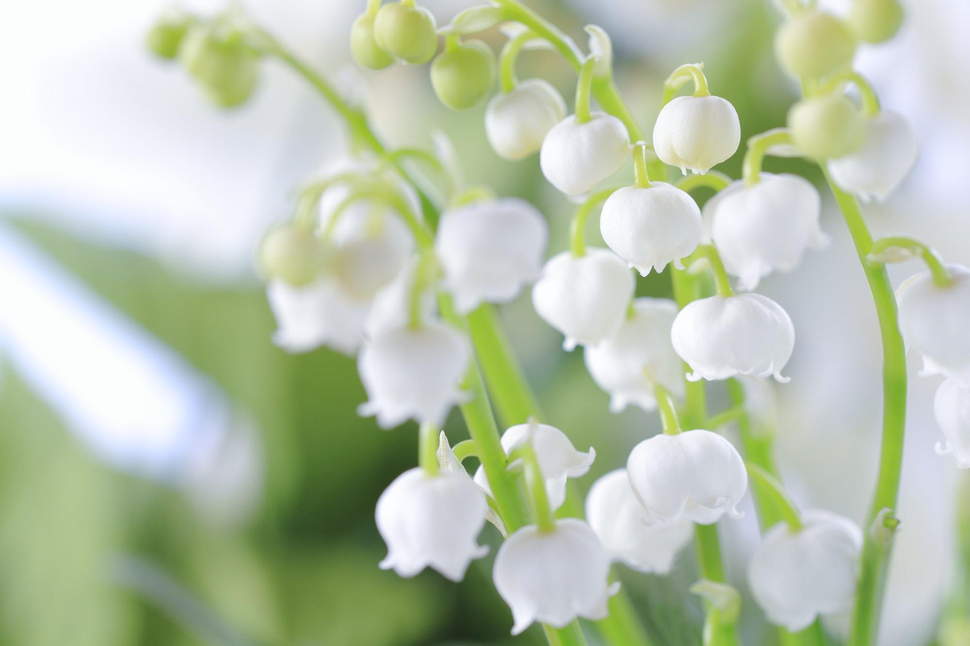 清楚でキュートな幸福の花「スズラン」