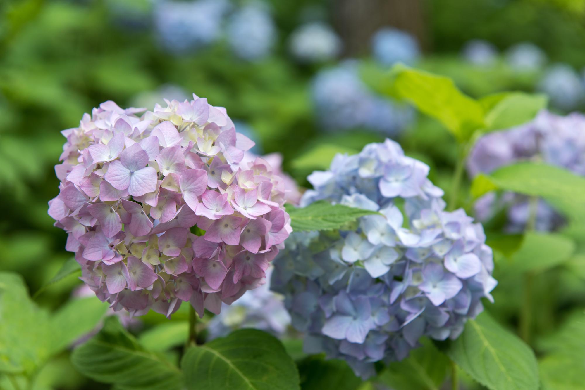 数種類の色・形で楽しませる、『万葉集』で歌われた花