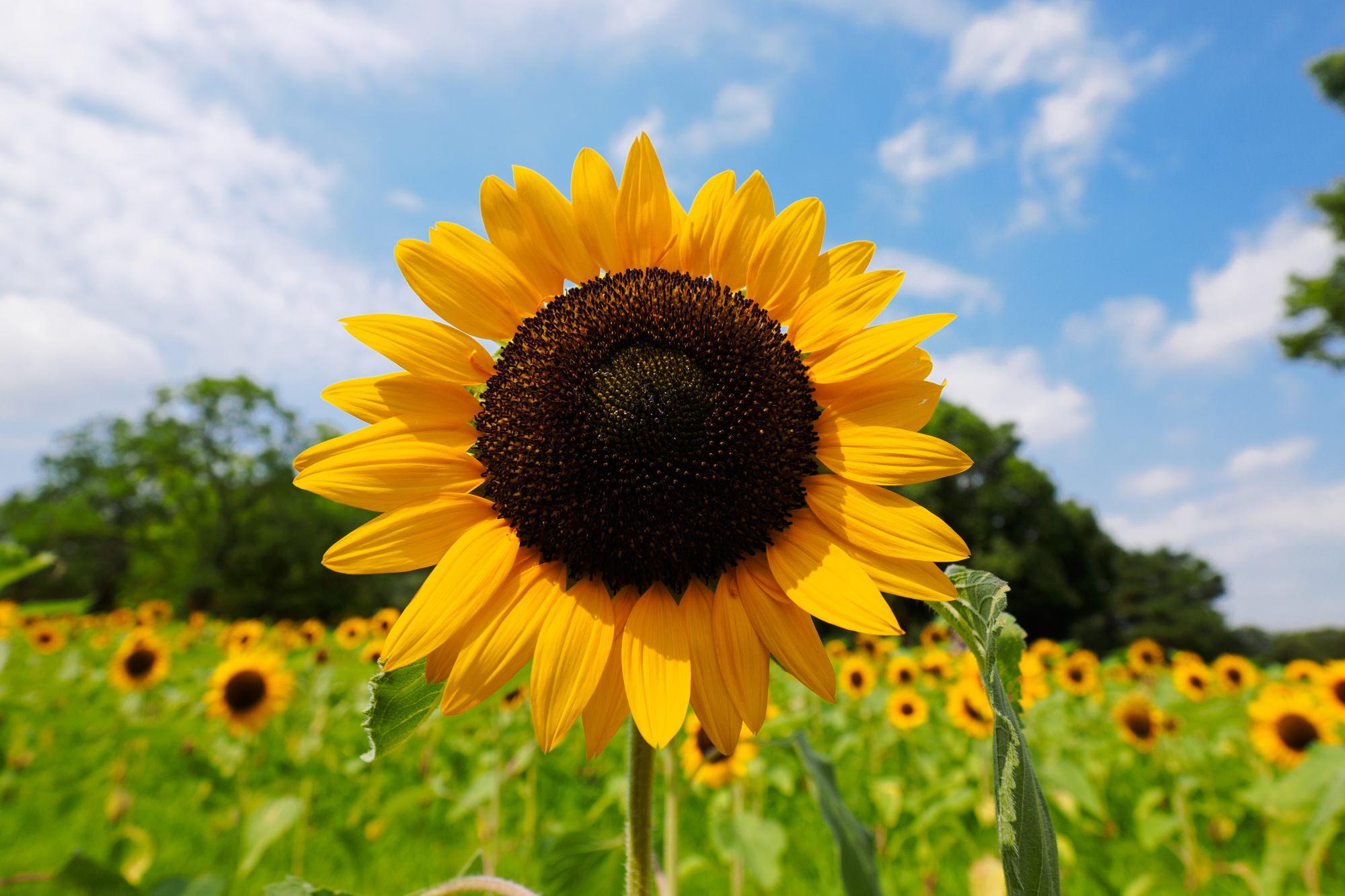 7月の誕生花ひまわりなどの花言葉や育て方花や花束の宅配