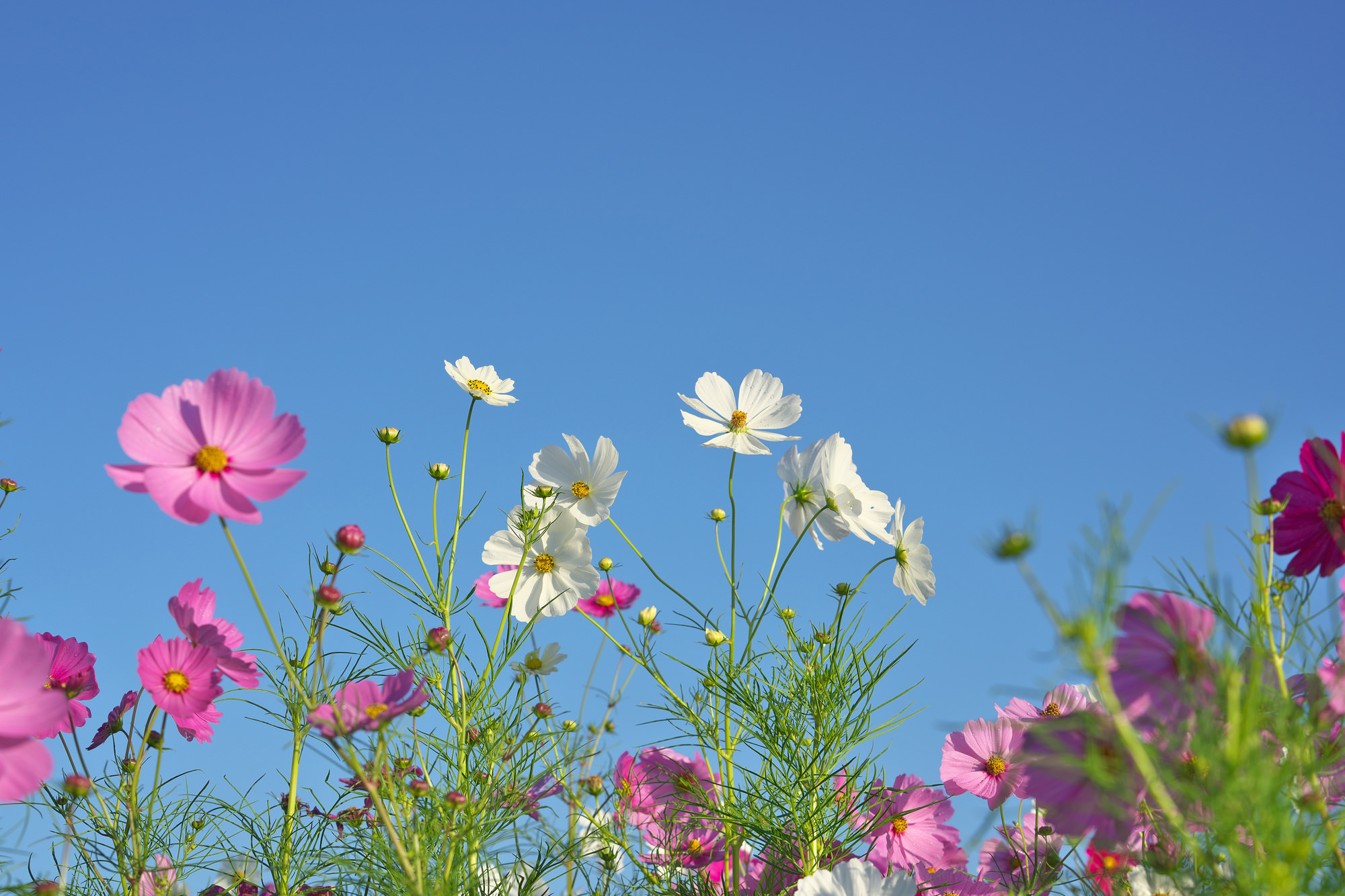 秋を象徴する花、コスモスとリンドウ