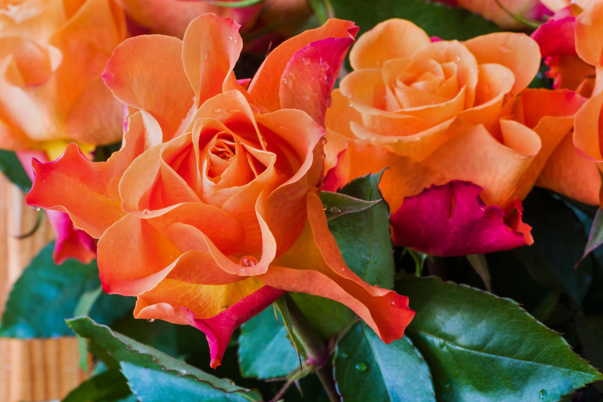 優雅さと爽やかさを併せ持つオレンジバラ