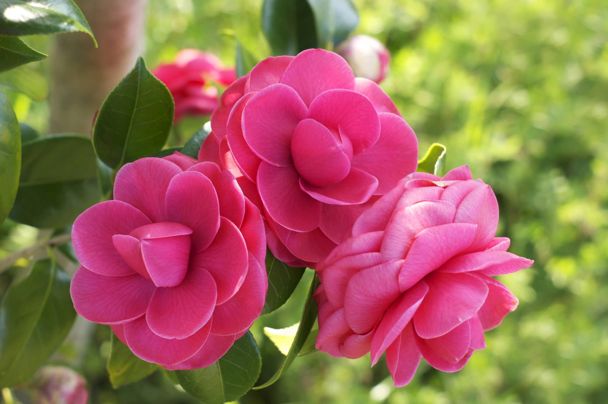 日本のバラと称される、日本が誇る美しい花木「ツバキ」