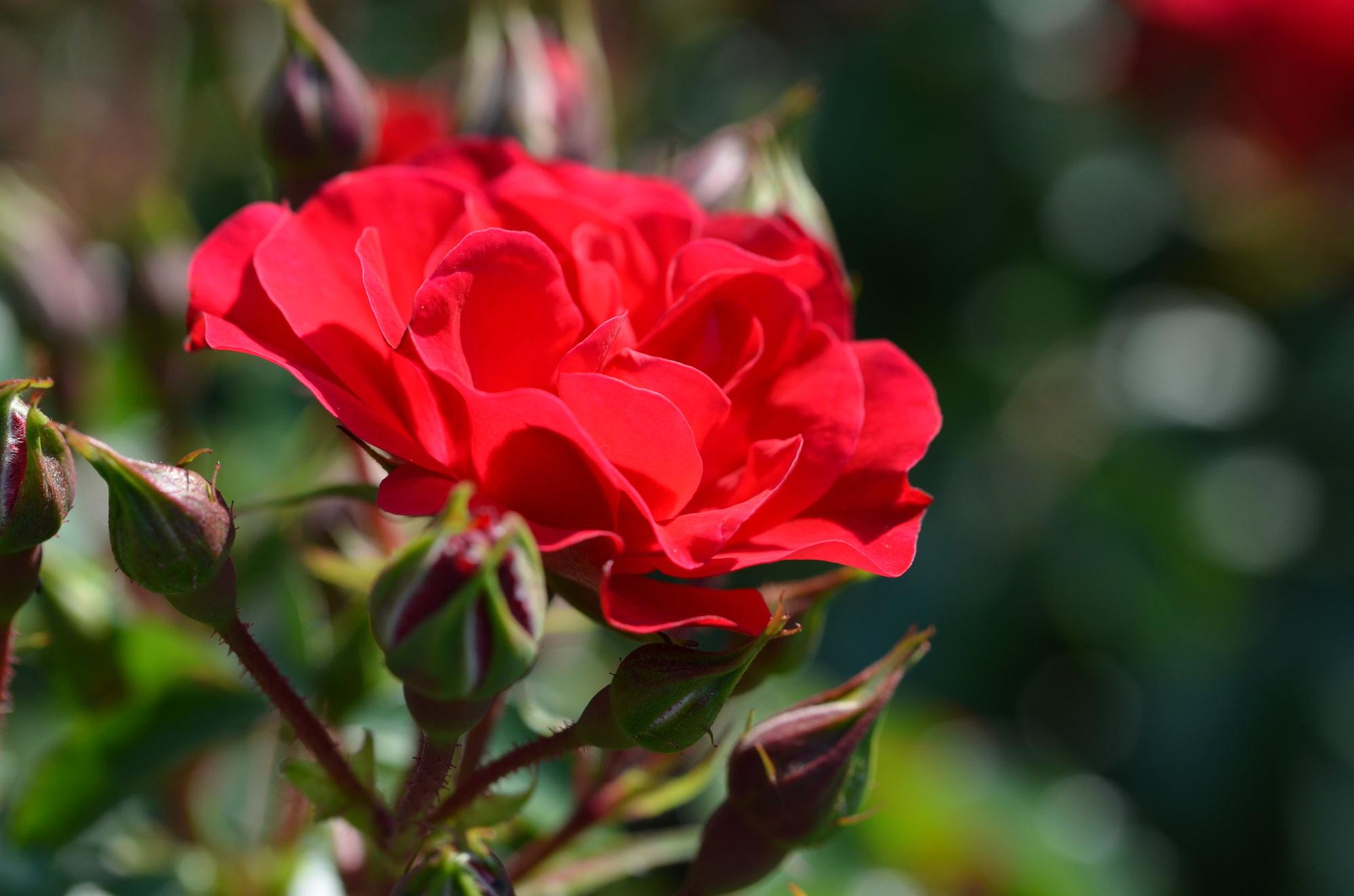 赤バラは、情熱的な赤色で愛を象徴する花