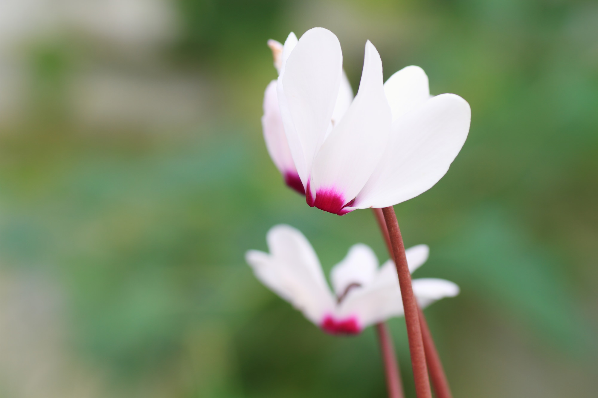 シクラメンは、内向的な花言葉を持った花