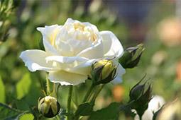 鉢植え・地植えのバラの育て方◆お手入れの基本|花コラム
