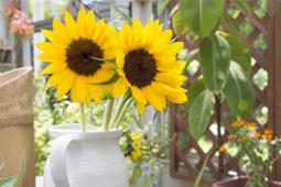ひまわりを長持ちさせる方法・鉢植えの育て方|花コラム