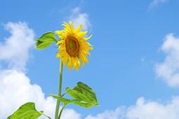 ひまわりに関する逸話|花コラム