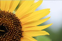 ひまわりの品種|花コラム