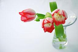 チューリップ飾り方とお手入れ方法|花コラム