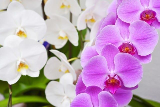 母の日に花を贈るなら、胡蝶蘭もおすすめ|母の日 コラム