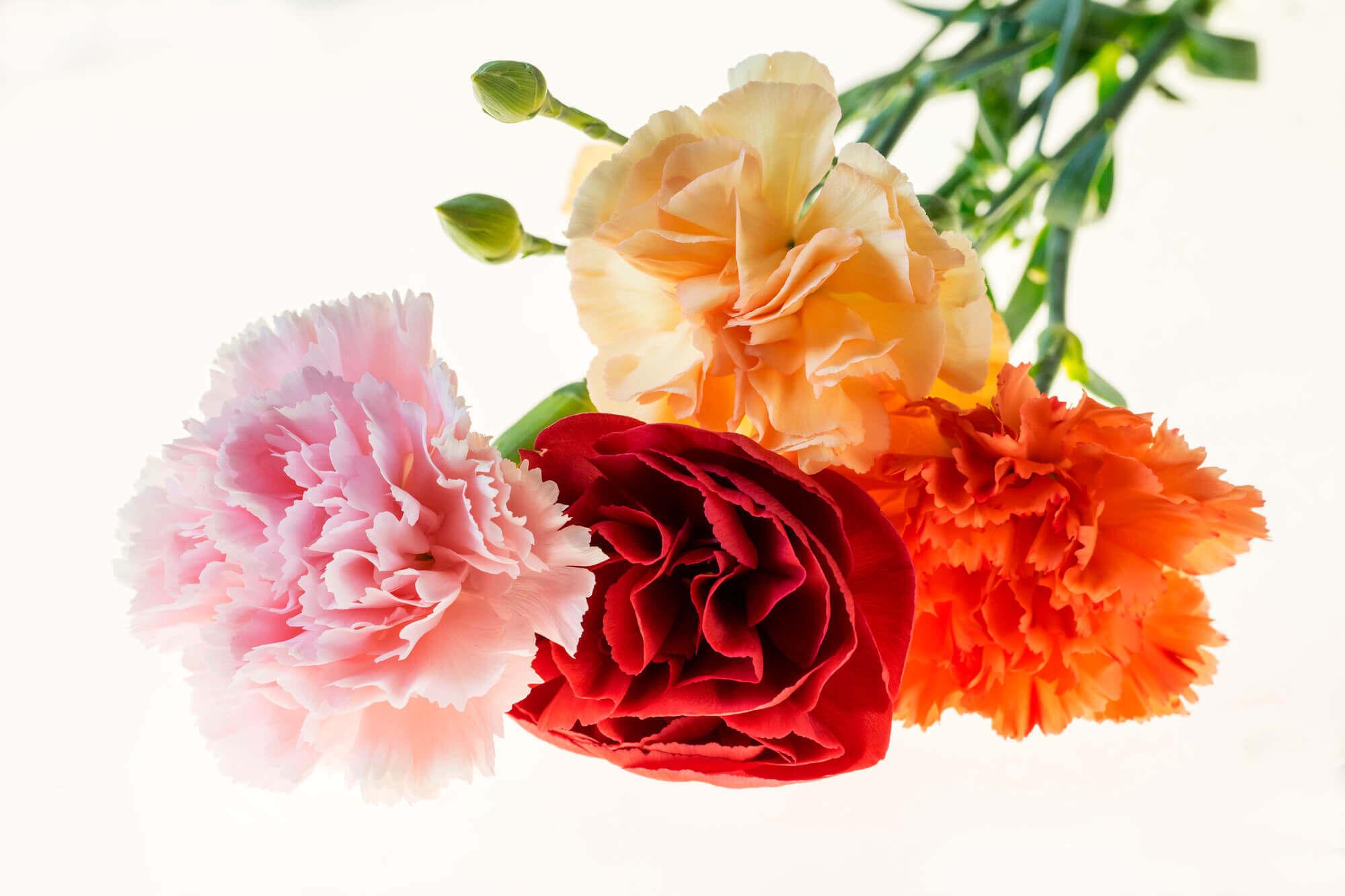 ■色によって変わるカーネーションの花言葉