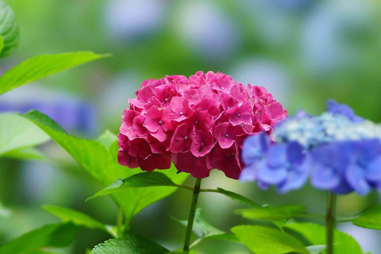 アジサイの特徴と花言葉