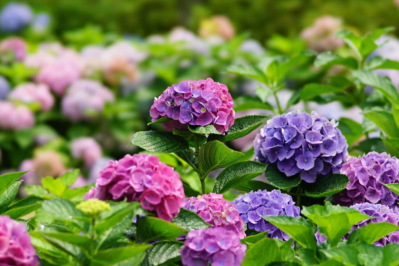 「アジサイ=紫陽花」は勘違いから生まれた