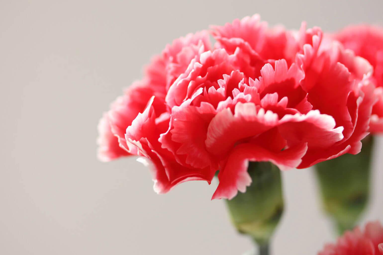 ■カーネーションってこんな花