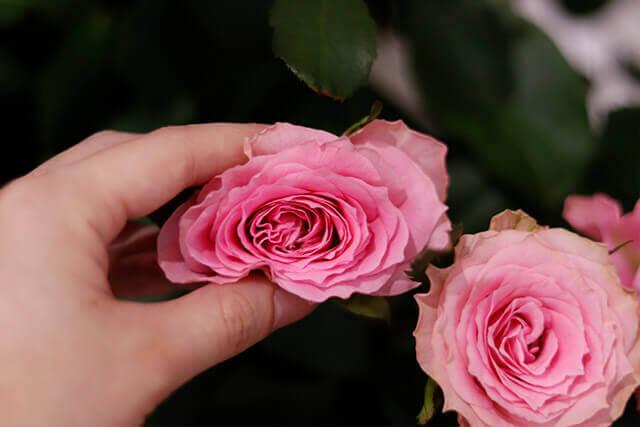 新鮮な切り花のバラを見極める方法