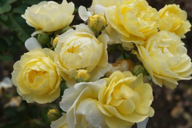 バラの咲き方