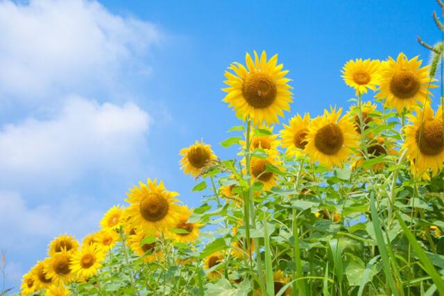 花の特徴 | ひまわりの特徴