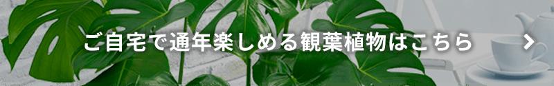 ご自宅で通年楽しめる観葉植物はこちら