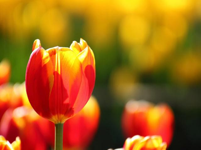 春にはかわいらしいチューリップを