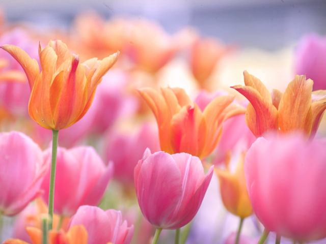 チューリップの開花時期分類